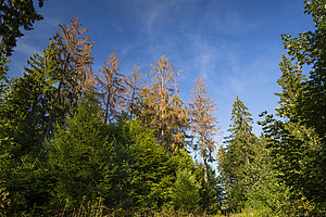 Borkenkäferschäden an der Fichte Foto: ForstBW/Jonathan Fieber
