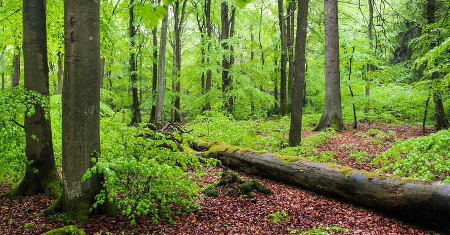 Buchenwald im Naturschutzgebiet Grumsiner Forst Foto: Sebastian Hennigs/NABU
